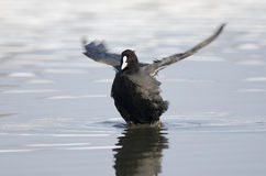 Coot (fulica atra). On the lake spreading wings Stock Images