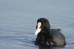 Coot (fulica atra). On the lake spreading wings Royalty Free Stock Images