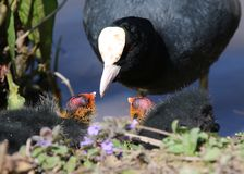 Coot (Fulica atra), Adult with Two Chicks. Coot parent offering food to chick. The adult's white head-shield and beak are clearly visible as are the red and Stock Photography