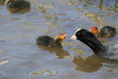 Coot (Fulica atra), Adult in the Water, with Two Chicks. Adult coot with two chicks swimming in water. The adult (parent) is offering a seed to one of the chicks Royalty Free Stock Image