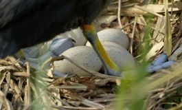 Coot nest with eggs Stock Photography