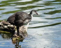 Coot  fulica atra duckling Stock Images