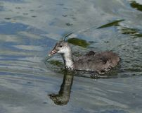 Coot  fulica atra duckling Stock Photography