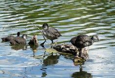 Coot  fulica atra ducklings Stock Photos