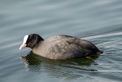 Coot - Fulica atra on the lake Stock Photo