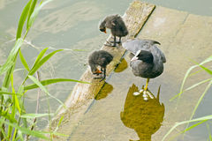 Coot-mother  with two fluffy chicks on the bridge near the water Stock Image