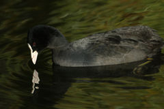 A Coot, Fulica atra, looking down at its reflection in the water. Stock Photos
