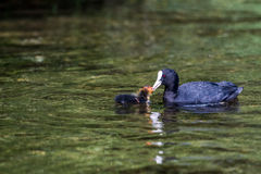 Coot fulica atra mother feeding her youngster Royalty Free Stock Image