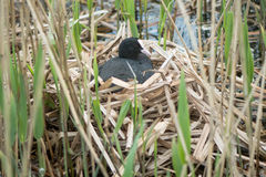Coot Fulica atra on nest Stock Images