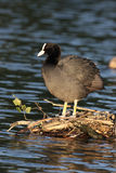 Coot, Fulica atra Royalty Free Stock Image