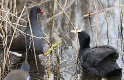 A Coot Fulica atra and pretty Moorhen Gallinula chloropus fighting in a reed bed at the edge of a lake. A Coot Fulica atra and Moorhen Gallinula chloropus Stock Photos