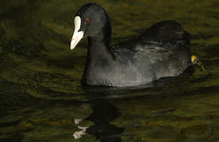 A Coot, Fulica atra, seaching for food on the water. Royalty Free Stock Images
