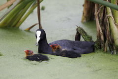 Coot, Fulica atra Royalty Free Stock Photo
