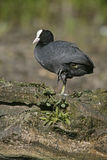 Coot, Fulica atra Royalty Free Stock Photography