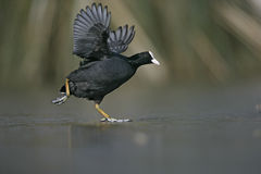 Coot, Fulica atra Stock Photos