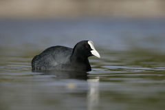 Coot, Fulica atra Stock Photo