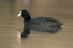 Coot, Fulica atra royalty free stock images