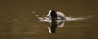 Coot (Fulica atra) Royalty Free Stock Photo