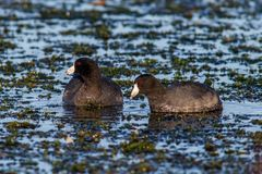 Coot Fulica Ameruica royalty free stock photos