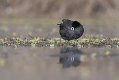 The Coot Fulica. In pond with reflection Stock Image