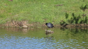 Coot (  Fulica) preening on a log. stock video