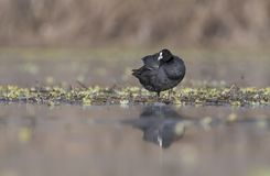 The Coot Fulica. With reflection in lake Royalty Free Stock Photo