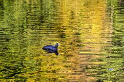Coot in a golden pond. Single coot swimming in the golden water surface of a pond in which colorizing trees reflect in autumn Royalty Free Stock Photography