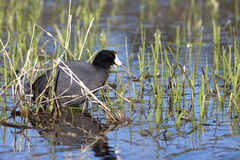 Coot in grassy shallow water. Royalty Free Stock Photos