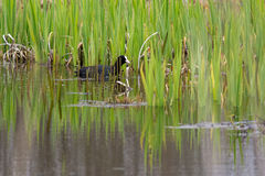 Coot in green Stock Photos