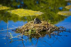 The parks are designed to accommodate the population in urban areas. Coot hatches its eggs. his nest has been built in the middle of the lake to protect against royalty free stock photography