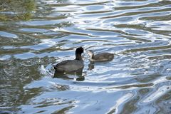 Coot with  hatchling Royalty Free Stock Photo