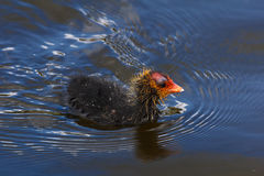 Coot hatchling Royalty Free Stock Image