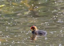 A coot hatchling swims lazily along the surface of a lake which stock photo