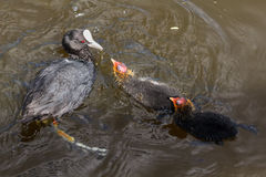 Coot with hatchlings Stock Image