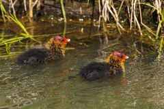 Coot hatchlings Stock Photos