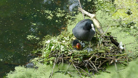 A coot with her baby Royalty Free Stock Photos