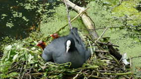 A coot with her baby Royalty Free Stock Images