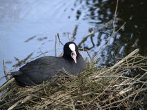 Coot on her nest. Screaming coot on her nest, warming her eggs Royalty Free Stock Photo