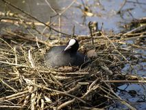 Coot on her nest. Warming her eggs Stock Photography