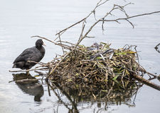 Coot and Her Nest Stock Images
