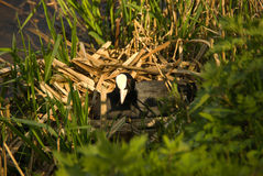 Coot on her nest watching you sunshine Royalty Free Stock Images