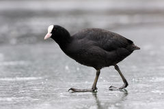 Coot on ice. Stock Image