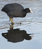 Coot on the ice at Southampton Common. A  coot on the ice at the the cemetery lake  on Southampton Common, Hampshire, UK Stock Photography