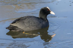 Coot in icy water royalty free stock photos