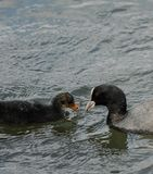 Coot and Chick. A Coot and its chick swimming on the River Thames Stock Photos