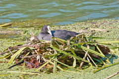 Coot in its nest Royalty Free Stock Photo