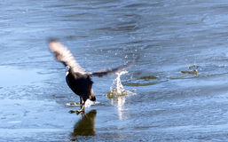 Coot landing on ice Royalty Free Stock Images