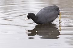 A coot looking into the water royalty free stock photography