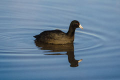 Coot or Mud Hen Royalty Free Stock Photo