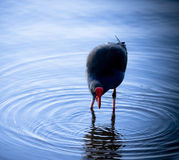 Coot (Native-Hen) Stock Image